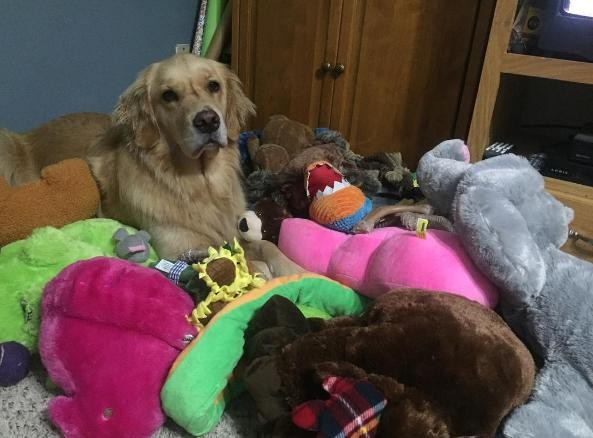 Dog Meticulously Picks Out A New Toy To Take To Bed Every Night