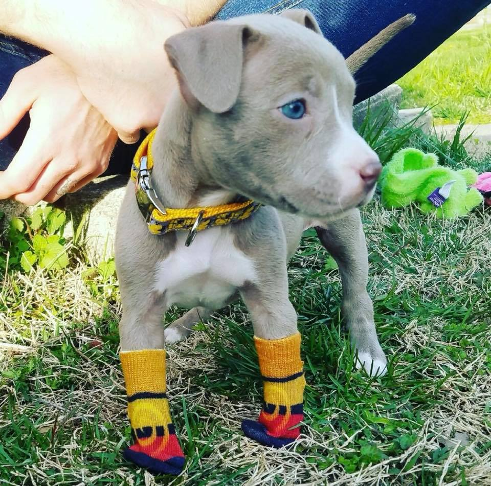 Update on puppy with no paws who was dumped in a duffel bag