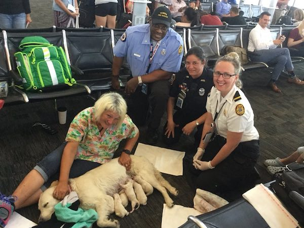 Mama Service Dog Has Puppies In Airport As Excited Papa Dog Proudly Looks On