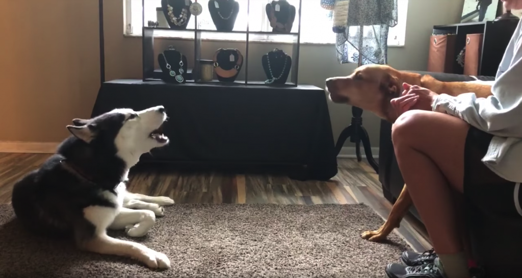 Dogs Get Into Heated Argument Over Nothing Before Making Up With A Kiss