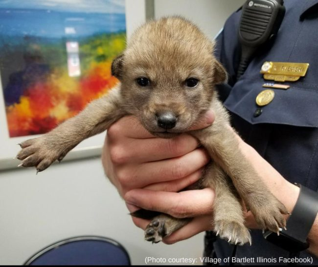 Baby coyote mistaken for puppy in Illinois
