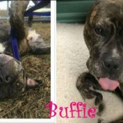 From abused to adored, gentle Buffie is looking for a loving home to call her own