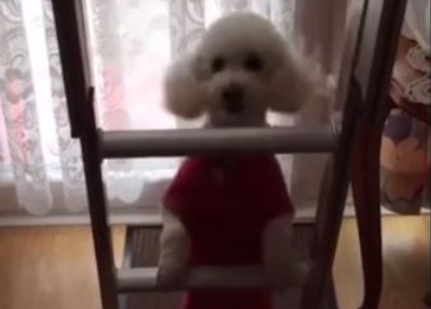 Cute Dog Bounces in Attempt to Climb Ladder