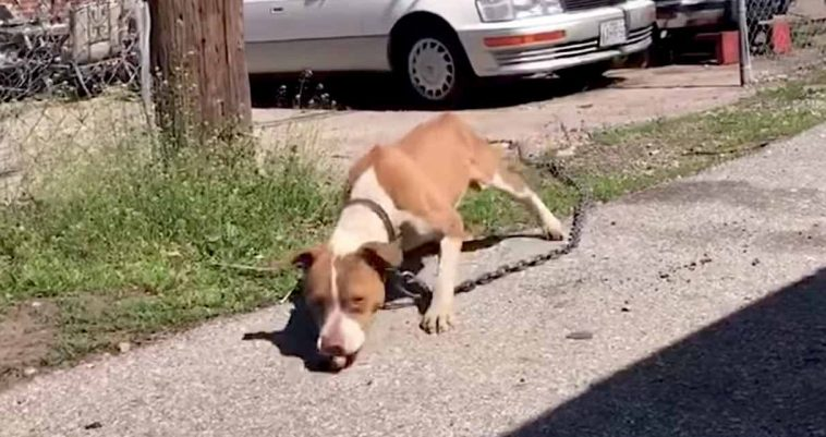 Stray Dog Weighed Down By Heavy Chain Gives Her Rescuers A Smile When It Is Removed