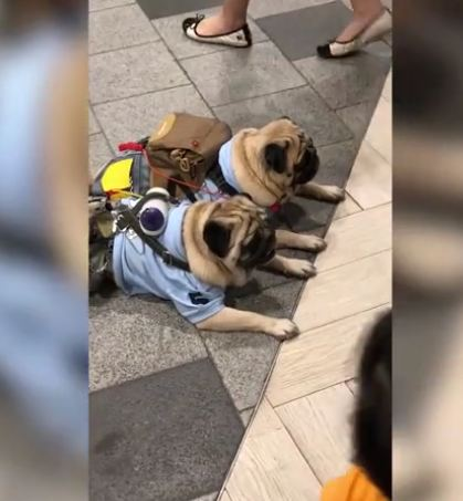 Pugs Waiting For Owner To Return