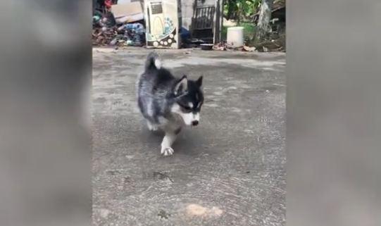 Husky With Three Legs
