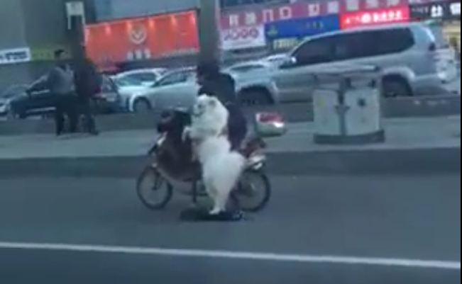Dog riding scooter on the street