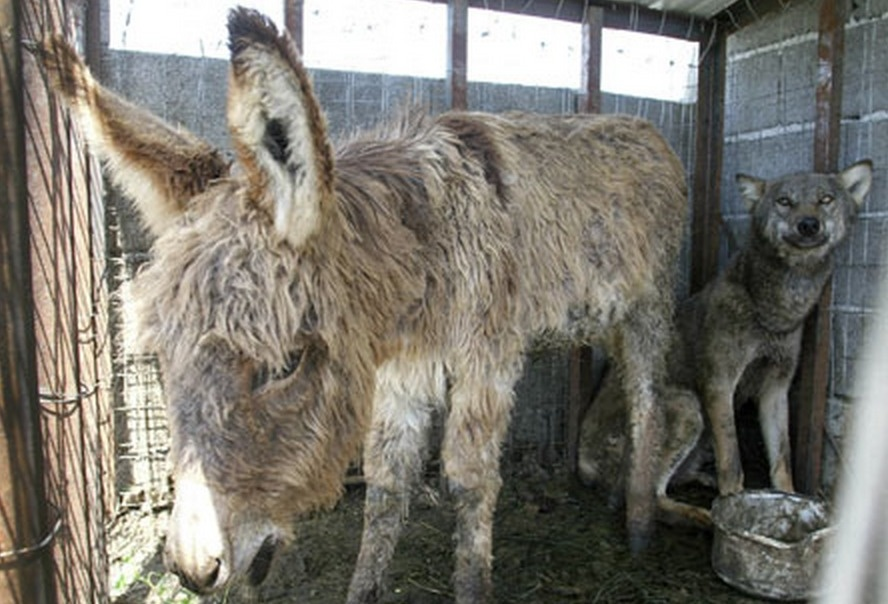 Donkey Is Thrown Into Wolf Cage As Food, But They Become Friends Instead