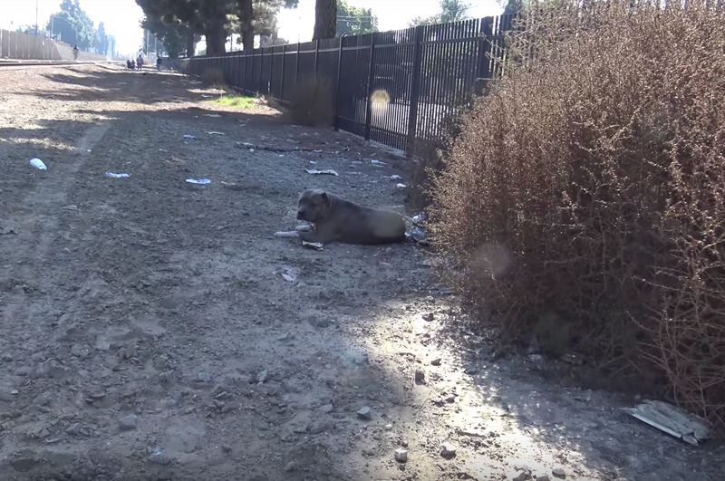 Rescuers Slowly Approach Injured Pit Bull On Active Railroad Tracks
