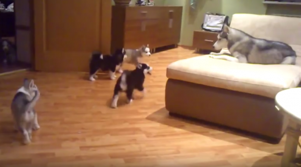 Husky Mom Sure Knows How To Handle Her 7 Playful Puppies