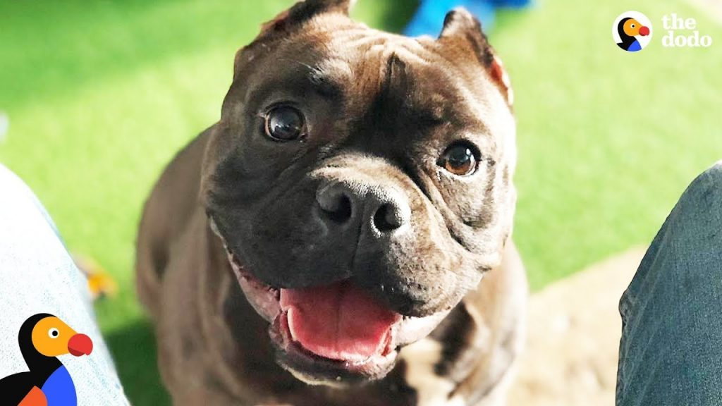 Pit Bull Dog Is The Happiest Boy Since He Got Rescued – BATMAN