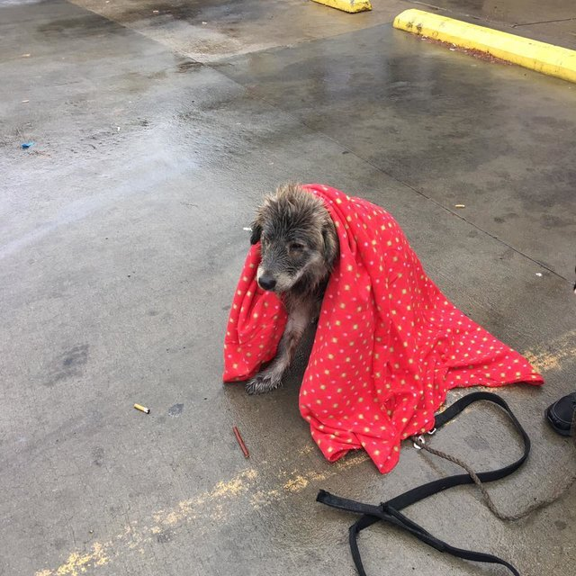 Abandoned Dog Sat In The Rain Refusing To Budge Until Someone Wrapped Her In A Blanket