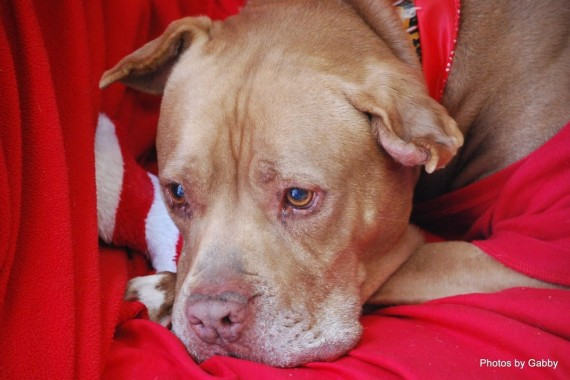 Pit Bull Waited Five Years For A Forever Home Pleading For A Family To Adopt Him