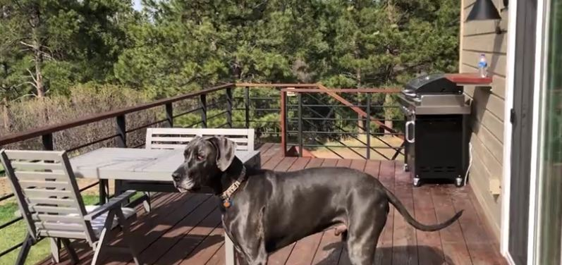 Great Dane worries about who's in the ambulance