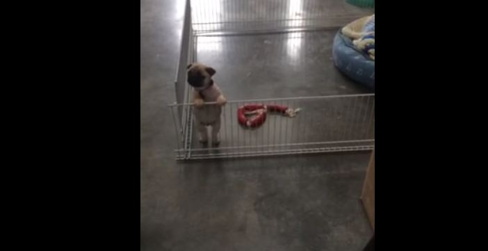 Pug puppy becomes main attraction at office