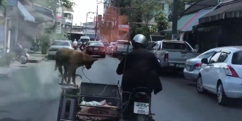 Fearless dog balances on motorbike sidecar as driver cruises