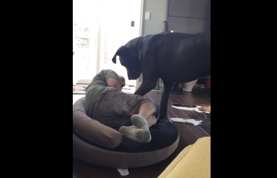 Grumpy Great Dane Doesn't Let His Owner Sleep In The Dog Bed