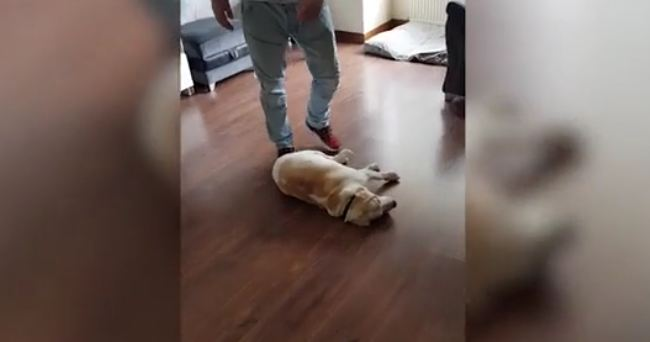 Dog plays dead to stop owners from leaving house