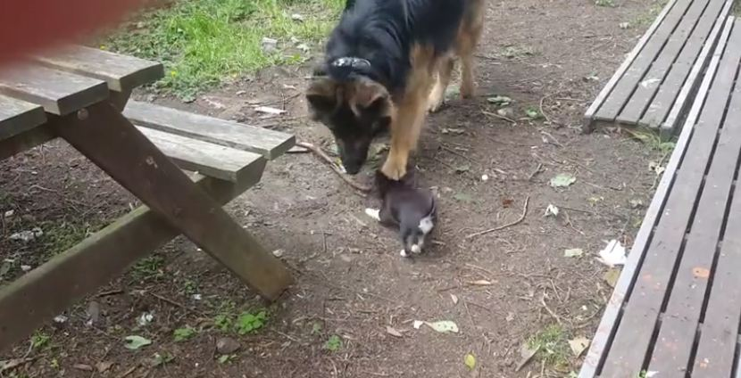 German Shepherd steals every stick puppy touches