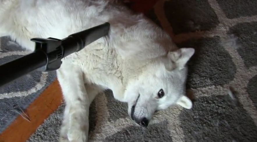 Siberian Husky Simply Loves To Have Her Coat Vacuumed