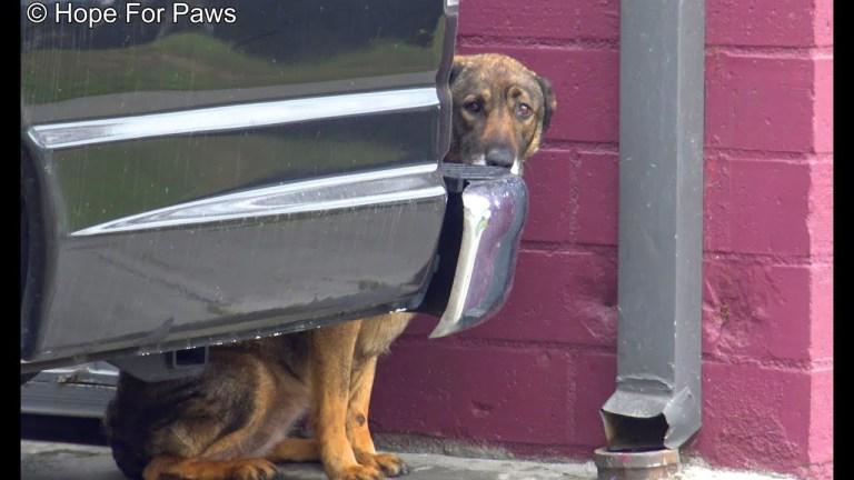Homeless German Shepherd cries like a human! I have never heard anything like this!!!