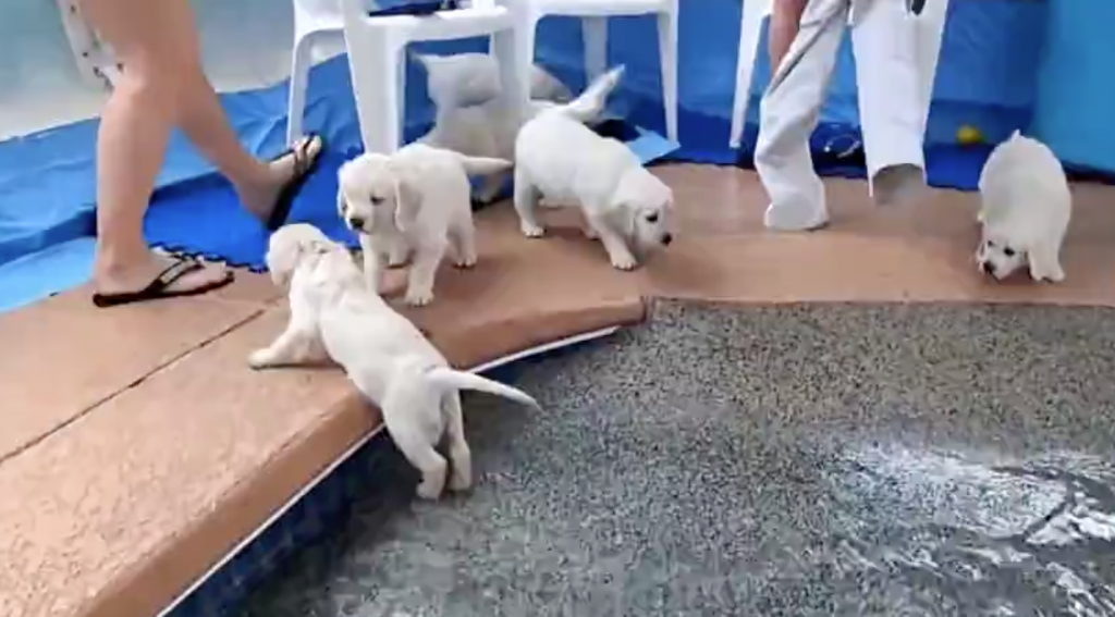 Eight Golden Retriever Puppies Take On The Challenge Of Swimming For The First Time