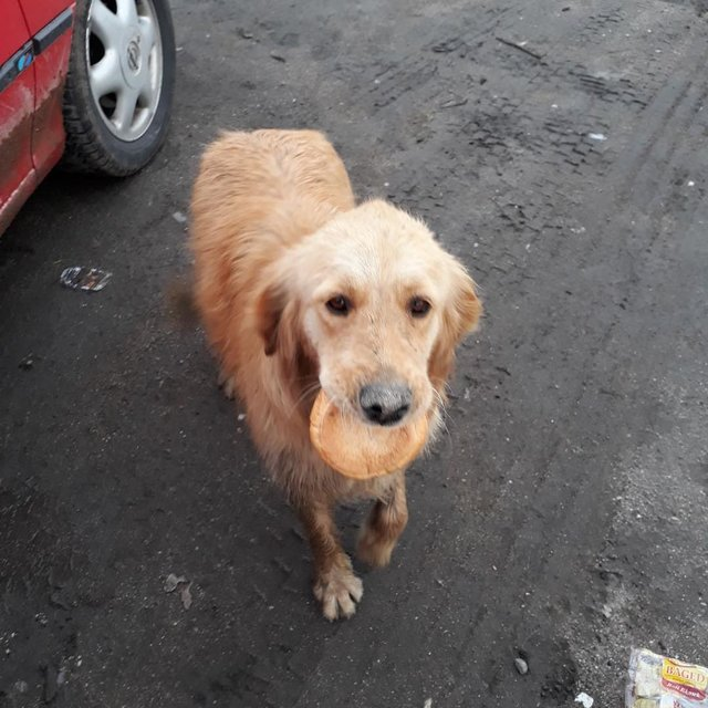 Stray Dog Seen On The Streets Carrying A Piece Of Bread Trying To Find A Safe Place To Eat