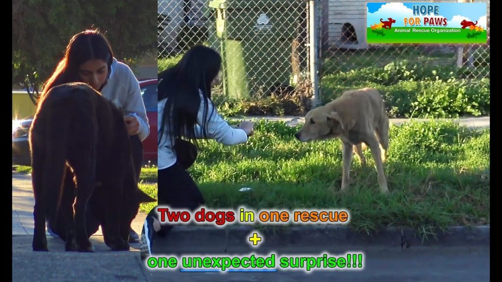 A sick homeless golden retriever and an Akita in a rescue with a surprising end!!! (PART 2)