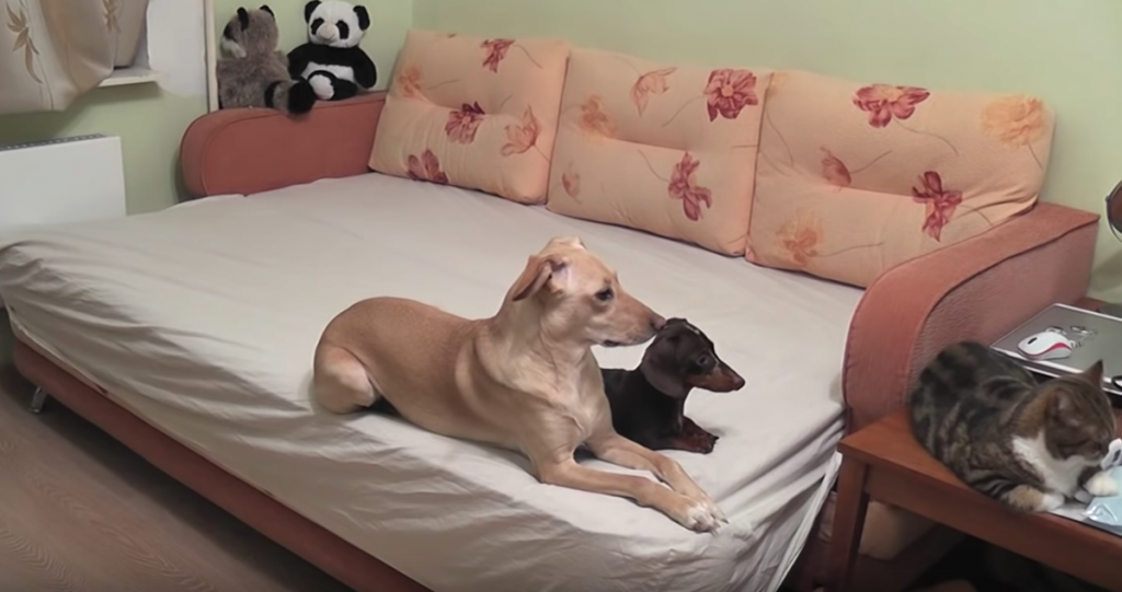 Two Dogs And A Cat Left Home Alone Show All Other Pets How It's Done