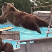 Grizzly Bear Jumps In Man's Pool, Turns Around And Flashes A Smile