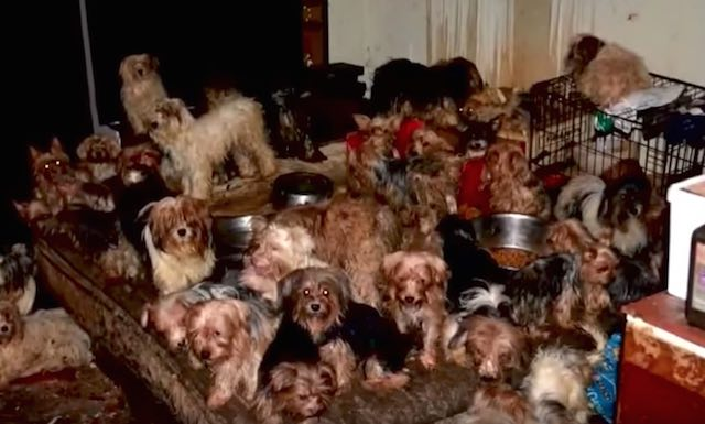 92 Yorkies Were Forced To Live In The Dark Amongst Feces And Mice