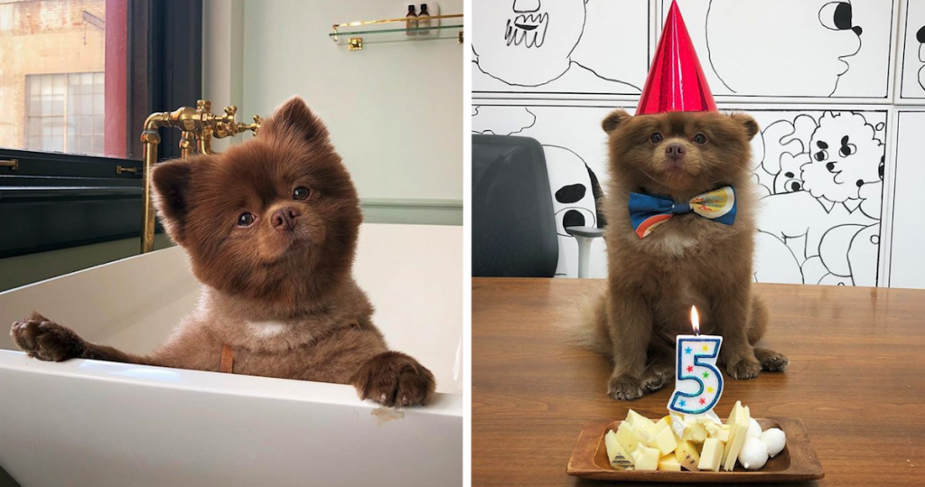 Bertie The Fluffy Wuffy Chocolate Pomeranian Is Easily Confused For A Baby Bear