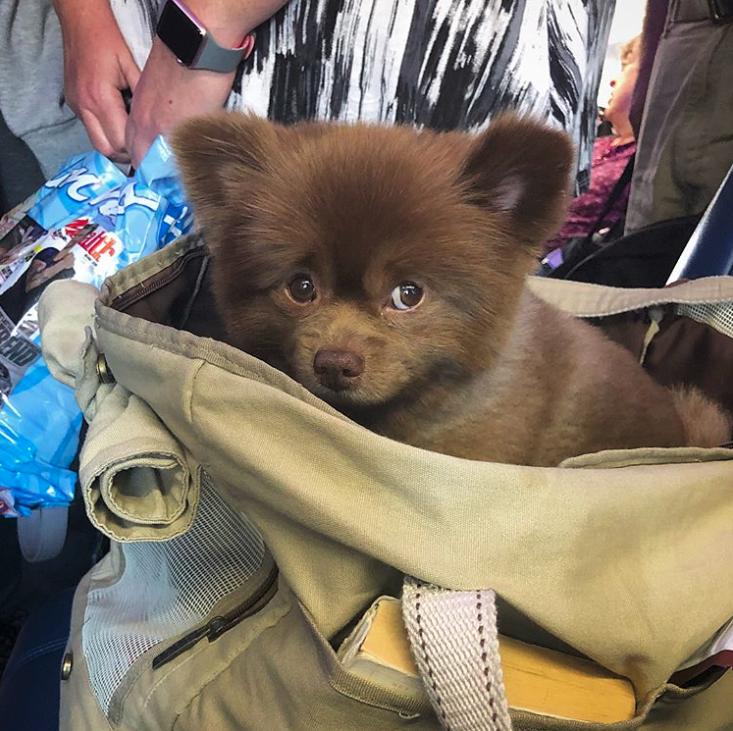 """Dog breeder abandoned 5-month-old pomeranian because he was """"too big"""", they probably regret it now.....*** Этого померанского шпица выбросили, потому что он был «слишком большим»."""