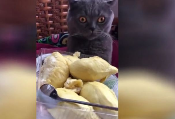 Cat faints after smelling durian fruit