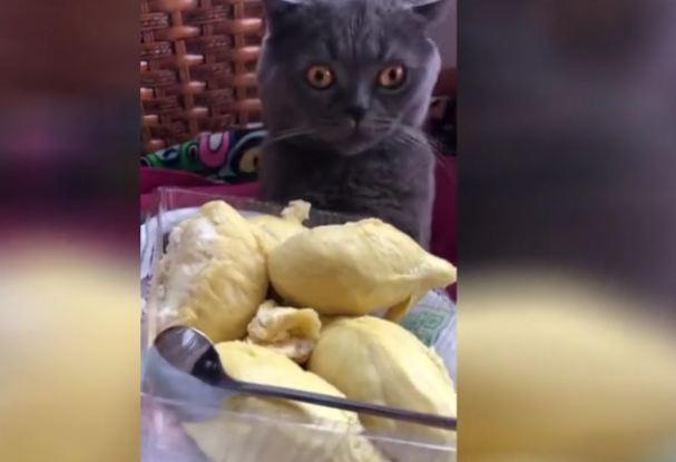 Cat faints after smelling durian fruit