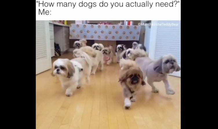 How many dogs does Munchkin the Teddy Bear need?