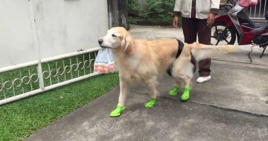 Golden Retriever back to regular chores after leg surgery