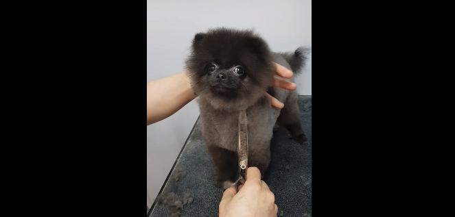 Pomeranian Does The Most Adorable Thing When She Gets Her Hair Cut