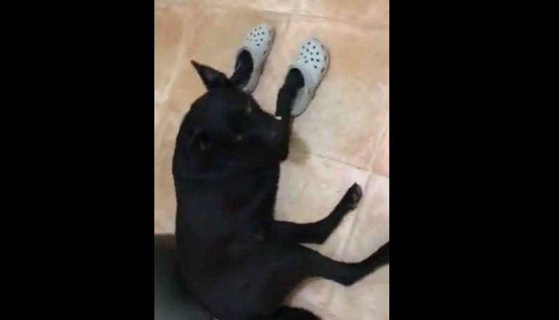 Funny dog loves to wear owner's Crocs