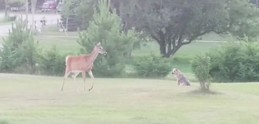 Excited puppy plays with herd of wild deer