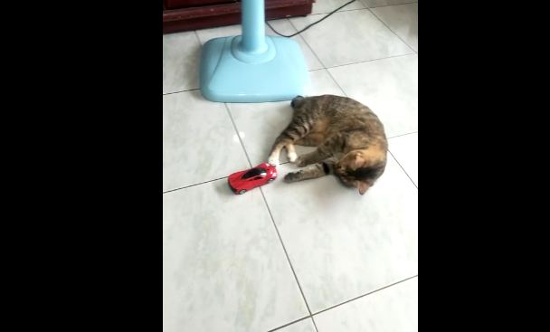 Cat Pretends To Fall Hard To The Ground After Being Hit By A Toy Car
