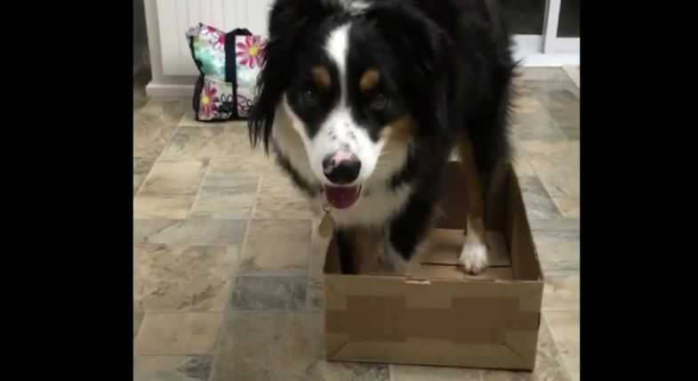 Miniature Australian Shepherd performs his new favorite trick