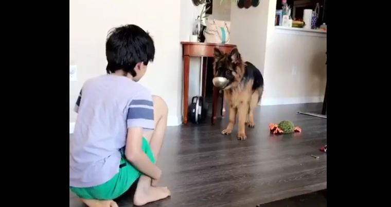 German Shepherd puppy mimics kid's every move