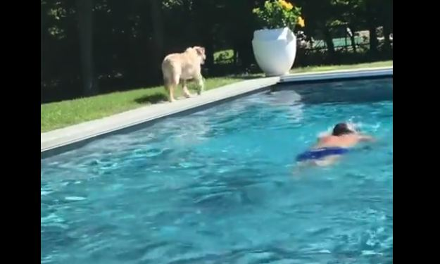 Australian Shepherd takes lifeguard responsibilities very seriously