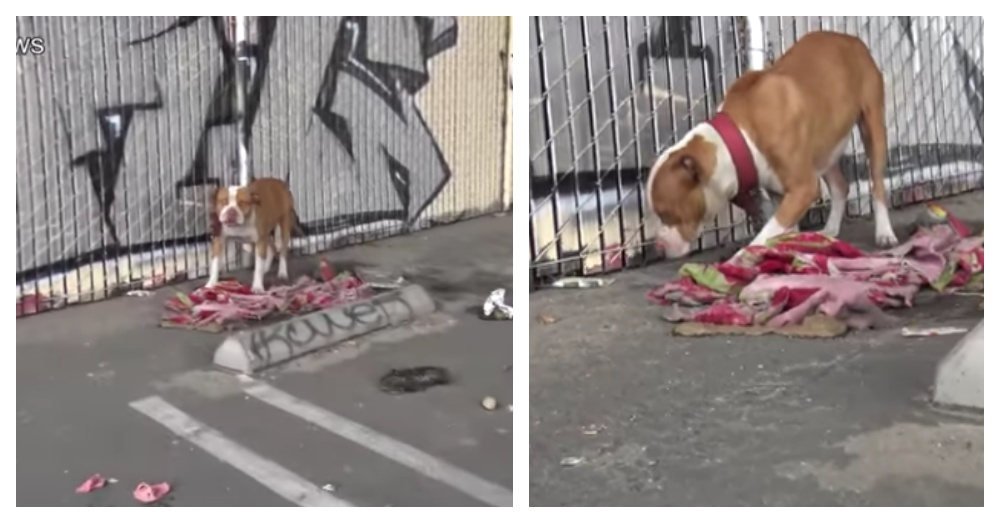 Two Pit Bulls Chained To A Fence Under The Freeway, Left To Die Without Food Or Water