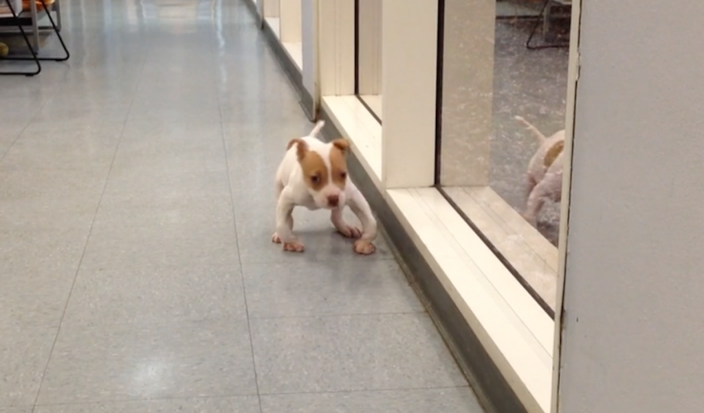 Puppy Born With Deformed Legs Takes His First Stroll Down The Hallway