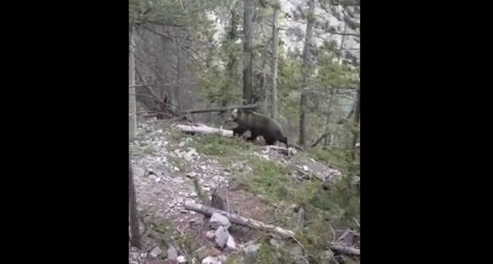 Grizzly Casually Passes By Tourists In The Woods
