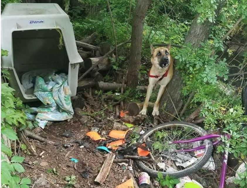 German Shepherd Tied In Woods Left With Empty Bowls And Crate For Survival