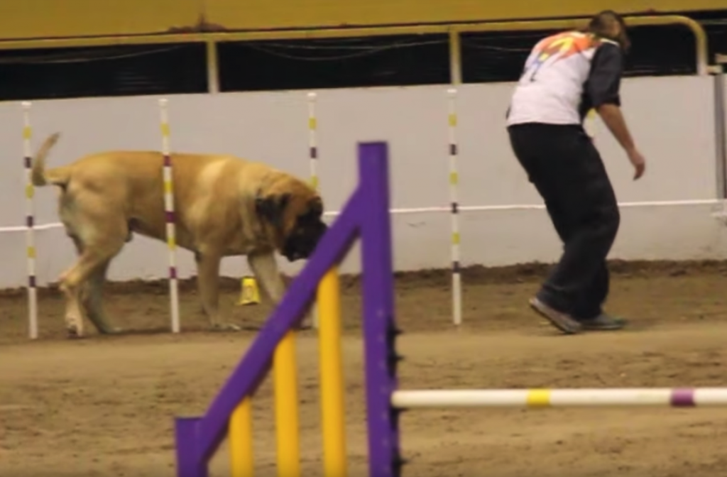 Gentle Giant Takes His Sweet Old Time On The Agility Course