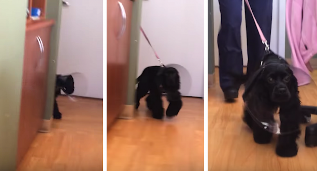 Dog Walks Around Corner After Eye Surgery To See Her Owners For The First Time